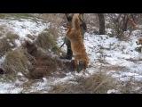 Рабочие собаки охота с ягдтерьером на лису