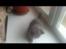Эмирхан. 1,5 мес. Голубой котик Адвоката и Алисы