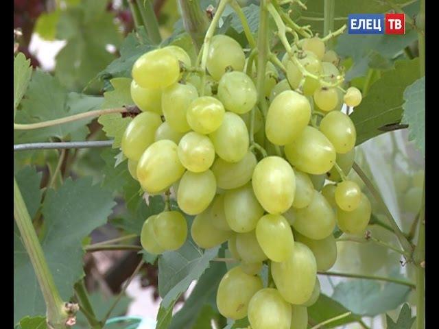 128 сортов на семи сотках. Уникальный виноградник елецкого любителя древней ягод ...