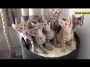 бр. меньшие_синхронные котята