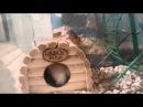 мышонок иглистой мыши- акомис. 2 дня от роду