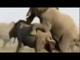 Спаривание_Слонов Sex Male Elephant Mating Pairing 18+