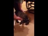 Кот притворяется мертвым, чтобы не идти на прогулку