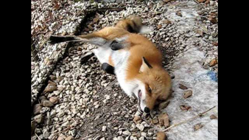 Chuckles the Red Fox