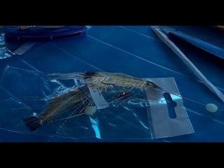#Рыбалка ,#Снасть_Креветка из Китая,Окунь,Судак,Щука,#sj4000