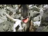 Пингвин_и_морж