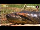 Анаконда Королева змей Супер хищник Только на моём канале! NAT GEO WILD