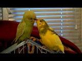 Попугаи целуются :D
