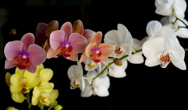 у орхидеи на листьях черные точки