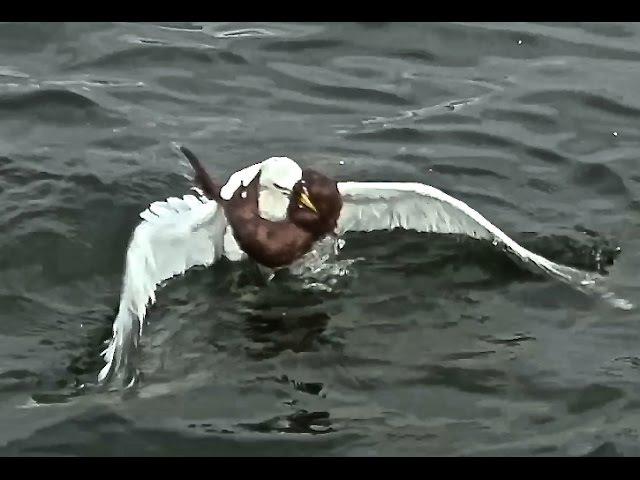 Weasel Vs Seagull