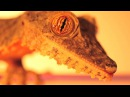 Gecko Eye Constriction and Dilation Remix
