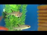 Барбус акулий балу - Аквариумная рыбка!