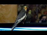 Мой попугай корелланимфа говорит и пляшет ля-ля,мяу-мяу.parrot cocktailnymph speak la-la,meow