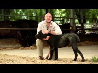 Планета Собак 47 Выпуск - Кане-Корсо (Италия) / 2013