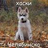 Сибирские хаски Челябинска
