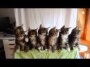 7 котят исполняют синхронный номер!