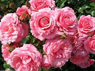 Сорта роз ( Varieties of roses )