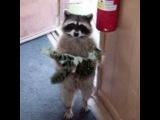ТОП 5 Лучшие видео с енотами и котами. Енот всех достает. РЖАЧ!!! #кот #котБарсик