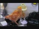 Чибатуха Цып цыплята