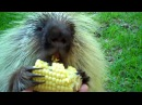 Teddy Bear, the porcupine, doesn't like to share