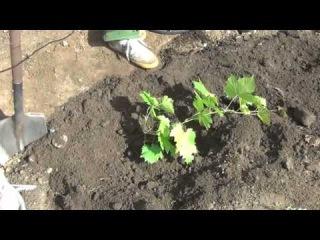 Как правильно посадить виноград в Сибири. Видео 02