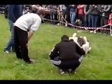 Собачьи бои на Хыдырлезе (Каплан 1 часть) 03.05.2015