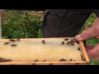 Технология ловли пчелиного роя. Хозяйство А.А. Цветкова.