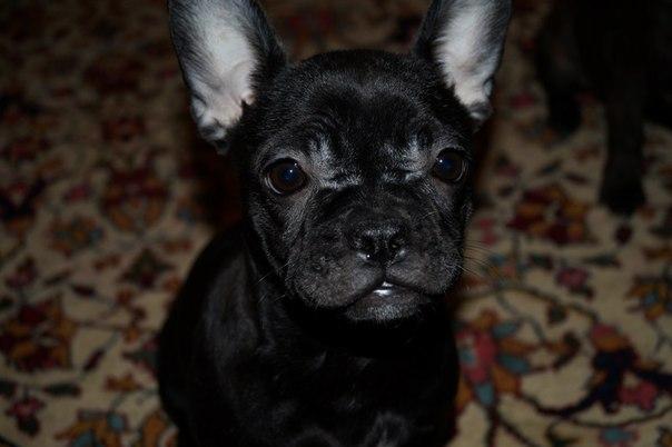 Пропала собака Французский бульдог по кличке Боня.
