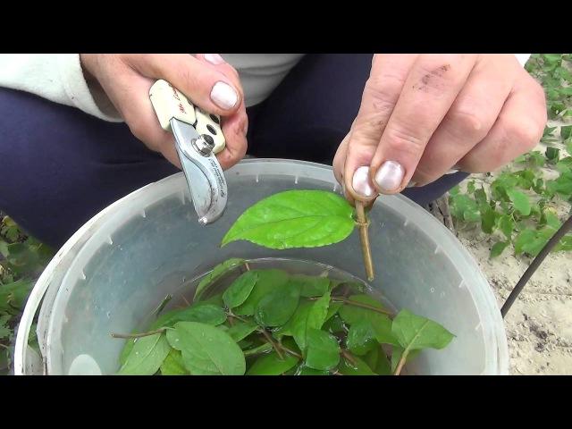 Зелёное черенкование. Green cuttings.