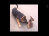German Shepherd brings back unlikely new friend after a morning walk in the woods