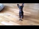 Русский Мини Той Терьер / Russian Mini Toy Terrier