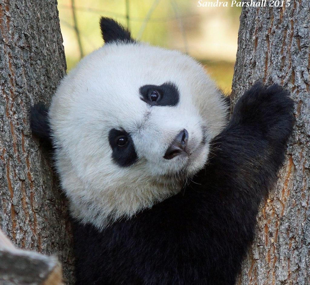 Newborn panda and mom - photo#35