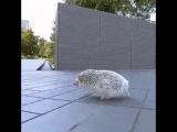 Hedgehog Awolnation - Run