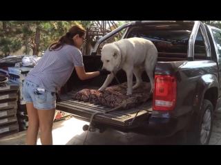 Как ХРУПКАЯ девушка управляется с алабаем (САО - среднеазиатская овчарка) Транспортировка собаки в кузове пикапа