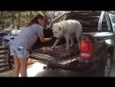 Как ХРУПКАЯ девушка управляется с алабаем САО среднеазиатская овчарка Транспортировка собаки в кузове пикапа