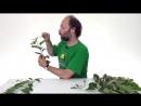 Строение побега. Морфология растений - 3