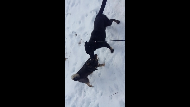 Chapa play with other dog