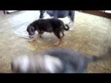 жадный щенок