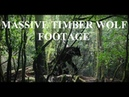 VERY IMPRESSIVE TIMBER WOLF FOOTAGE!! - Frightened Man Films Dog Chased By Real Massive Dire Wolf