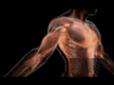 Тело человека. Мышцы (Musculus).