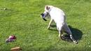 Первые шаги парализованной собаки Снежаны после перелома позвоночника Радость и слезы animals