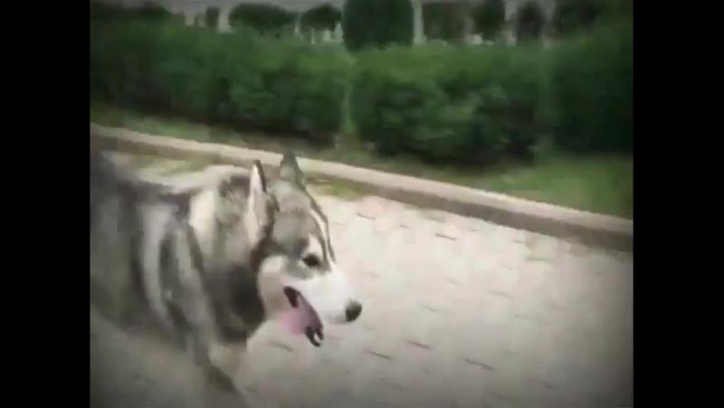 • Редкие жители Грозного не встречались с молодым парнем и его разноглазой собакой Дэмбэ в центре города. Есть много фильмов и п