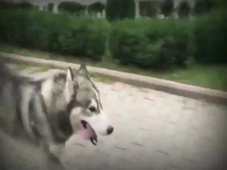 •Редкие жители Грозного не встречались с молодым парнем и его разноглазой собакой Дэмбэ в центре города.Есть много фильмов и п