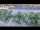 Выращивание кабачков цуккини и патиссонов особым способом Всегда будете с урож