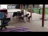 Собаки терпеливо ждут своей очереди на обед