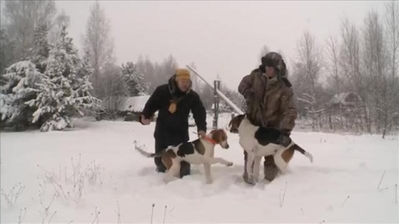 Русская пегая гончая. Планета собак 🌏 Моя Планета