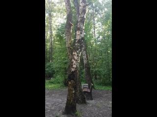 бигли не умеют лазить по деревьям