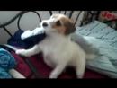 хозяйственный пес