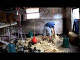 Mallard Ducklings - Baby Ducks - Farm