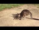 Кенгуру разбудил кота, но потом извинился